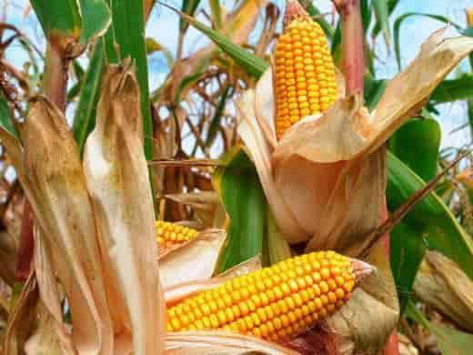 Купить Семена кукурузы Збруч