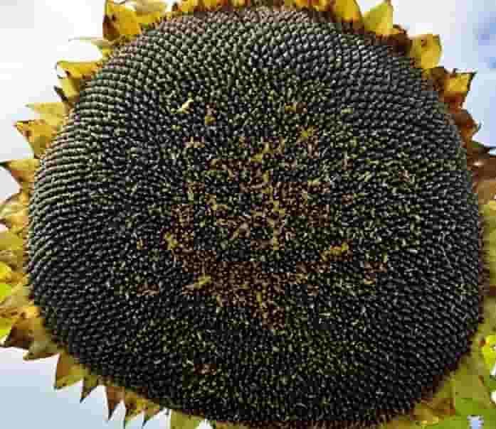 Купить Семена подсолнечника Жалон