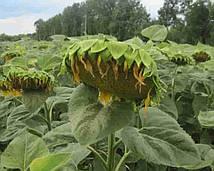Купить Семена подсолнечника Атланта