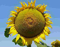 Купить Семена подсолнечника Дарил