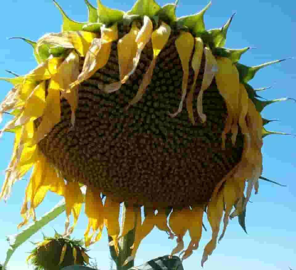 Купить Семена подсолнечника Форвард