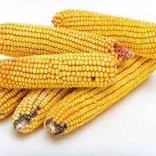 Купить Семена кукурузы ЕС Эпилог