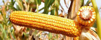 Купить Семена кукурузы ЕС Гарант