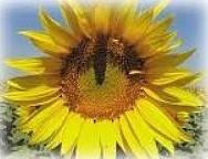 Купить Семена подсолнечника ЕС Бамбина