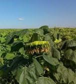 Купить Семена подсолнечника ЕС Новамис КЛ