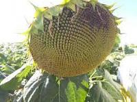 Купить Семена подсолнечника ЕС Артик