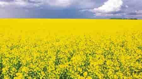 Купить Семена рапса ЕС Алонсо