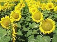 Купить Семена подсолнечника ЕС Балистик СЛ