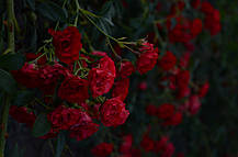 Роза Ред Фейри (Scarlet Meillandecor) Почвопокровная, фото 2