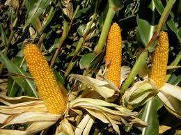 Купить Семена кукурузы Бюрли КС