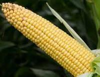 Купить Семена кукурузы Йоги КС