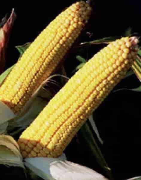 Купити Насіння кукурудзи Клариті КС