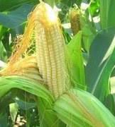 Купить Семена кукурузы Кодими