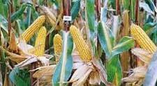 Купить Семена кукурузы Корнади
