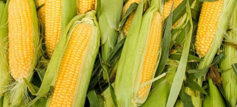 Купить Семена кукурузы Луиджи КС