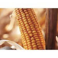 Купить Семена кукурузы Текни КС