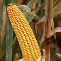 Купить Семена кукурузы Труази