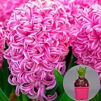 Гиацинт Pink Pearl (горшок 7 см) (луковицы в горшках) , купить