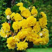 Бегония Pendula Cascade Yellow (клубни) , купить
