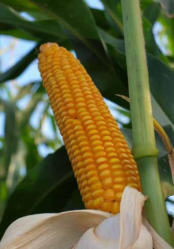 Купить Семена кукурузы Маs/Мас 12.R