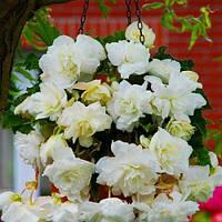 Бегония Pendula Cascade White (клубни) , купить