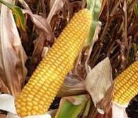 Купить Семена кукурузы Маs/Мас 23.K