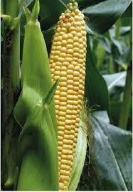 Купить Семена кукурузы Маs/Мас 26.K