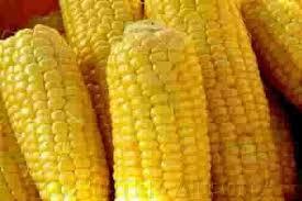 Купить Семена кукурузы Маs/Мас 30.К
