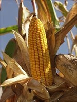 Купить Семена кукурузы Маs/Мас 53.B