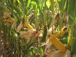 Купить Семена кукурузы Васілій