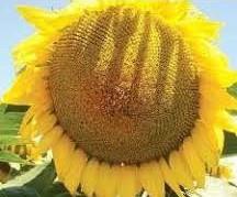 Купить Семена подсолнечника Маs/Мас 82.A