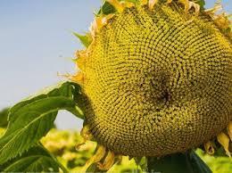 Купить Семена подсолнечника Маs/Мас 94.C