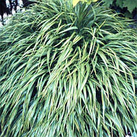 Хаконехлоя Albostriata (саженцы)