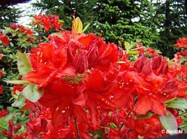 Рододендрон листопадний Doloroso 3 річний, Рододендрон листопадный Долоросо, Azalea Doloroso, фото 2