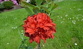 Рододендрон листопадний Doloroso 3 річний, Рододендрон листопадный Долоросо, Azalea Doloroso, фото 3