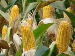 Купить Семена кукурузы Mas 18 L
