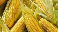 Купить Семена кукурузы Mas 20 A