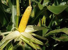Купить Семена кукурузы Mas 25 F