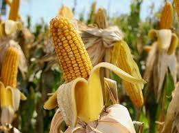 Купить Семена кукурзы Mas 24 C