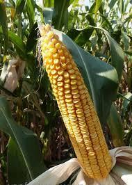 Купить Семена кукурузы Mas 30 M