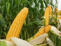 Купить Семена кукурузы Mas 35 K