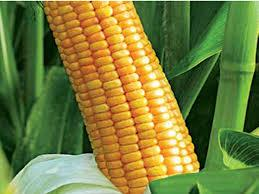 Купить Семена кукурузы Аалвито