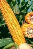 Купить Семена кукурузы ЛГ 2306