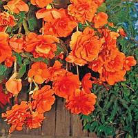 Бегония Pendula Cascade Orange (клубни) , купить