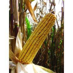 Купить Семена кукурузы ЛГ 2372