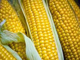 Купить Семена кукурузы ЛГ 3330