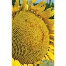 Купить Семена подсолнечника С70165