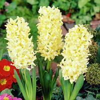 Гиацинт Yellow Queen (горшок 7 см) (луковицы в горшках) , купить