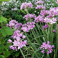 Аллиум Unifolium (луковицы) , купить