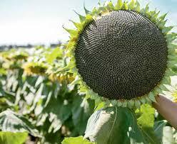 Купить Семена подсолнечника ЛГ 5582